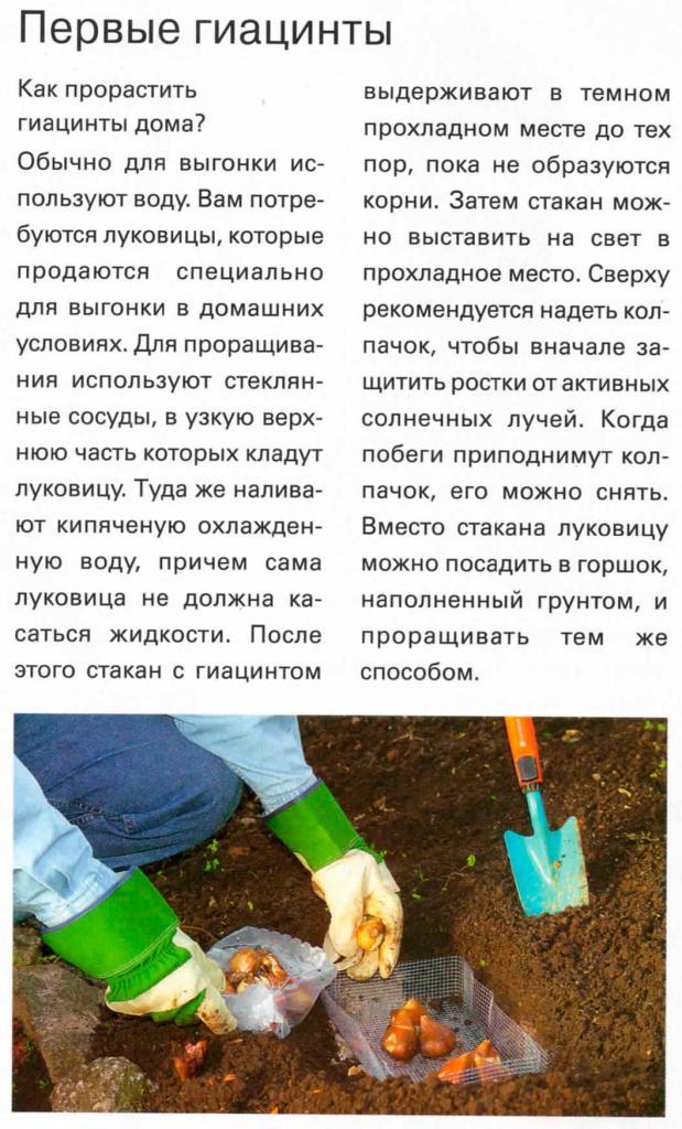Выгонка луковичных растений 44