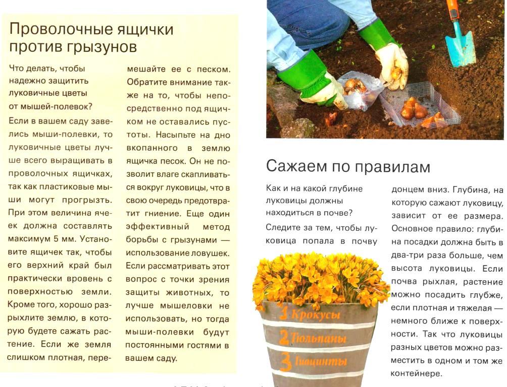 Выгонка луковичных растений 45