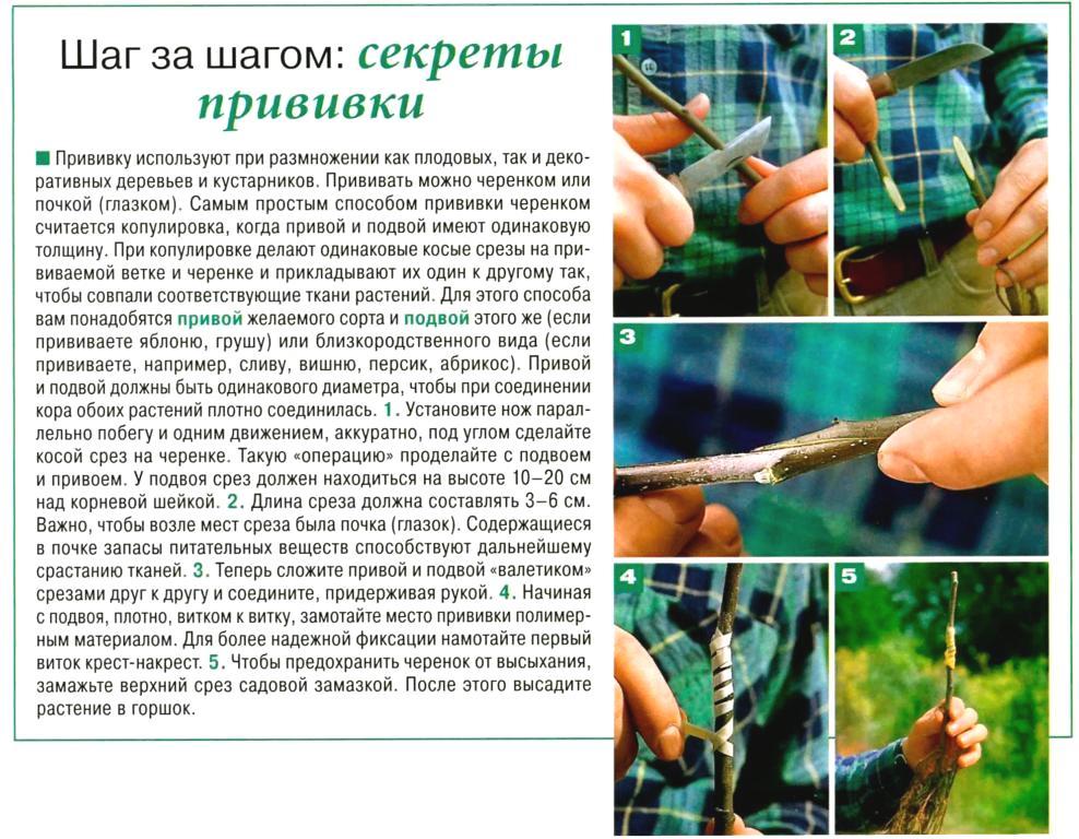 Как сделать прививку на яблоне