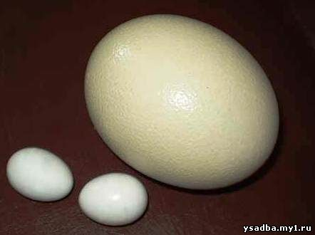Однако относительно массы тела самки...  Сравнительные размеры куриного и страусиного яиц.